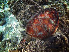 apo_island-carissa_inez-12-copy Underwater, Turtle, Island, Blog, Animals, Vintage, Turtles, Animales, Animaux