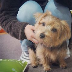 #dog#norfolkterrier#smalldog#hounds#cutie#instapet#life#terrier#animallovers#topdogphoto#blacktan#dogsofinstagram#dailydog#petsagram#dogs#nature#bestwoof#dogoftheday#animals#cute#puppylover#adorable#instagood#terriers#doglover#pets#picpets