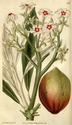 Botanical illustration of flowers from Biodiversity Heritage Library