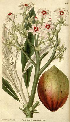 Botanical illustration of flowers from Biodiversity Heritage Library
