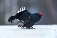 Black Grouse by Juhani Vilpo