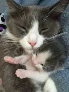 Sweet mama cat, grey and white, with her mini.