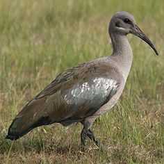 Hadeda Ibis,(Bostrychia hagedash) in Kruger National Park South African Birds, List Of Birds, World Birds, Funny Birds, Shorebirds, Kruger National Park, Bird Pictures, Sea Birds, Domestic Cat