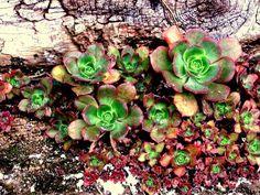 Los Rosetones de la humedad. En los Dornajos, en los patios. De las antiguas casas. Florecen, buscando la humedad.  Se unen en un racimo de supervivencia.