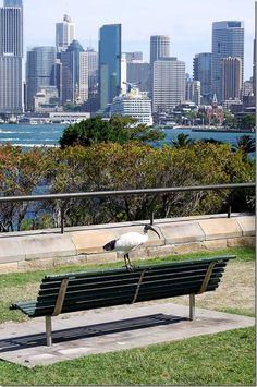 Ibis on a park bench at Bradfield Park, Kirribilli, Sydney