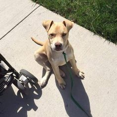 Marky Mark is looking for his forever home... We cannot believe he's not adopted! Marky is a 5 month old lab mix puppy. Great with kids cats and dogs  Apply at rescuedogsrocknyc.org #rescuedogsrocknyc #nyc #adoptdontshop #nycdogswag #thedodo #dog #newyorkcity #bmupc #newyork #manhattan #spreadtherumer #ny #puppy #adopt #rescue #brooklyn #queens #bronx #longisland #dogsofnyc #rdrnyc #fosterdogsnyc #houndsbazaar #nycdogs #lacyandpaws #statenisland #dontshopadopt by rescuedogsrocknyc