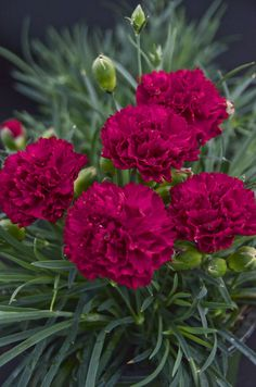 "Fruit Punch 'Cranberry Cocktail' Dianthus has florist sized blooms on a perennial plant with sturdy stems and a compact habit. Good heat and humidity tolerance too, Full sun to light shade with a height of 8-10"", hardy to zone 4."