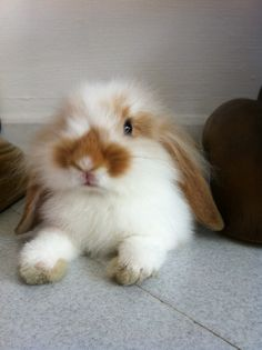 beautiful fluffy floppy bunny Cute Animals Images, Cute Animal Pictures, Cute Funny Animals, Animals And Pets, Cute Cats, Baby Animals, Cutest Animals, Rabbit Farm, Bunny Rabbit