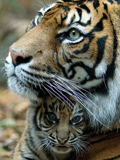 Sumatran Tiger with Cub ~ Taronga Zoo, Sydney, Australia. Such beautiful animals mk