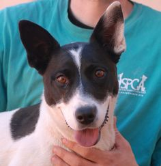 Robin is a young girl ready to bless you with unconditional devotion.  She is a beautiful blend of Aussie Cattle Dog, Border Collie & Smooth Collie, 2 years of age, spayed, and debuting for adoption today at Nevada SPCA (www.nevadaspca.org).  Robin enjoys other friendly dogs.  We rescued her from another shelter that asked for our help (she had a broken tooth, which we had extracted).