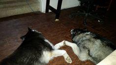 Puppy love.  #husky #huskies #huskiesofinsta #siberianhuskies #siberianhusky #huskiesofinstagram #siberianhuskiesofinsta #siberianhuskiesofinstagram #sibe #sibes #sibesofinstagram #sibesofinsta #huskiesreq #dogsofinstagram #dogstagram #allthingshusky #vashthehusky #featuresforhuskies #features4huskies #atxdogs #remthehusky #caninesofaustin #austincanines #austindogs #dogsofaustin #dogsoftexas #huskylove #huskygram by twofuskyhuskies