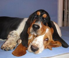 Look at the eyes of the one on the bottom. He is giving the other quite a look! So funny! Corkey's Bassets