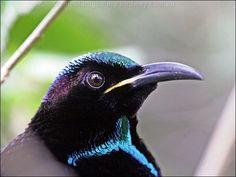 Victoria's Riflebird (Ptiloris victoriae) Щитоносная райская птица Виктории