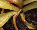 Dionaea_muscipula_growth_time-lapse.gif (160×128)