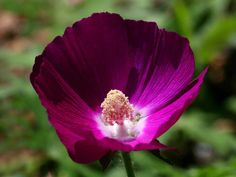 Prairie Winecups - Native Colorado perennial perfect for its beauty, color and drought tolerance