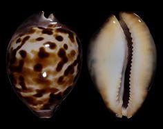Randy Bridges Zoila venusta roseopunctata, Raybaudi 1985. Outstanding! 71.4 mm.