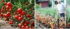 Dorești să ai suficiente roșii pentru mâncare și conservare pentru iarnă? Secretul unei recolte abundente constă într-o soluție destinată cultivării tomatelor. Am găsit această rețetă într-un ziar sovietic despre grădinărit. Aici am zărit o scrisoare expediată editorului de către un bunel în care cel din urmă a împărtășit secretul lui. Iată și rezultatul obținut. Impresionant, … Projects To Try, Home And Garden, Organic, Fruit, Vegetables, Gardening, Nicu, Tomatoes, Garden Ideas