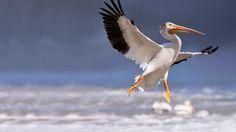 Bing Image Archive: American white pelican in flight, Red River, Lockport, Manitoba, Canada (© Ken Gillespie/Corbis)(Bing United Kingdom)
