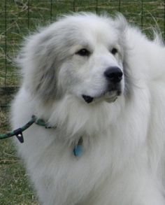 See more Beautiful! Is there anything more noble than a Great Pyrenees? - Johna Beall Real Estate in Seattle Pyrenees Puppies, Great Pyrenees Puppy, Corgi Puppies, Really Big Dogs, I Love Dogs, Beautiful Dogs, Animals Beautiful, Adorable Animals, Simply Beautiful