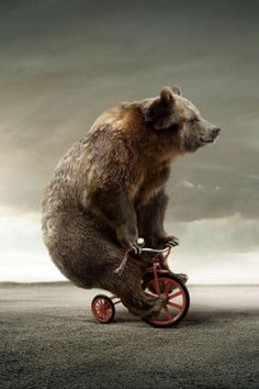 Look at that funny thing. It's a bear riding a tricycle. That bear is TOO BIG for a tricycle! Tricycle, Wallpapper Iphone, Urso Bear, Photo Humour, Cute Bear, Big Bear, 4 Wallpaper, Flower Wallpaper, Wallpaper Backgrounds
