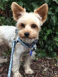 Bobby is a beautiful silver, Yorkie male.  He will turn 5 years old this Thanksgiving.  Little Bobby lost his home when the family had to move and several aspects of their lives were changing.Bobby loves playing with stuffed animals and older...
