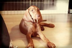 female vizsla puppy
