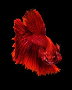 Red dragon - Capture the moving moment of red siamese fighting fish isolated on black background. Betta Fish Types, Betta Fish Tank, Beta Fish, Betta Aquarium, Pretty Fish, Beautiful Fish, Colorful Fish, Tropical Fish, Fish Wallpaper