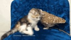 I wanna Kiss you Kitty... #Awww  #CatLovers #Cats  #Cute  #Funny  #Gifs …