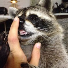 PYF Raccoon: Too pure for this tainted world. - The Something Awful Forums