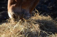 Oilily in the hay