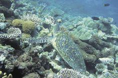 Mauritius | Swem saam met 'n waterskilpad in die Blue Bay-marinereservaat