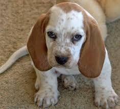 Image result for basset hound mix