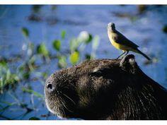 Capivara com pássaro na cabeça
