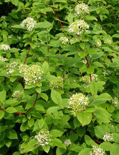 Cornus alba ´Sibirica´ Variegated leaves, attractive berries, stunning fall color and showy red stems in winter. Vigorous and adaptable, forming a thicket of upright, blood red stems. White berries are often tinged blue or green. Ideal for naturalizing. Best color in full sun. Deciduous. 6-8 ft. in height, does not form a tree.