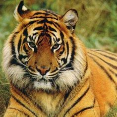 Bengal Tiger Facts - http://facts.net/bengal-tiger-facts/
