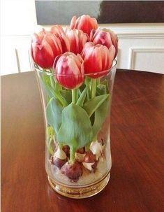 Как вырастить тюльпаны в квартире (без земли). Обсуждение на LiveInternet - Российский Сервис Онлайн-Дневников