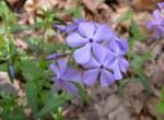 Missouri Native wildflowers and grasses suited to Lakes and Ponds - Blue Phlox (Wild Sweet William)