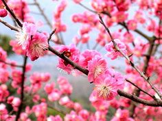 Prunus mume - Wikipedia, the Chinese plum blossom. Blooms mid winter to early spring. Symbol for perseverance.