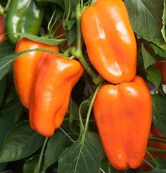 Pepper Glow D3923A (Green to Orange) 25 Organic Seeds by David's Garden Seeds David's Garden Seeds http://www.amazon.com/dp/B00HKN3RTQ/ref=cm_sw_r_pi_dp_Kt0Qtb0QH6NF6XXD