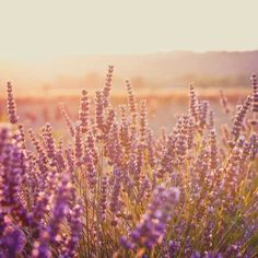 Growing Lavender :: How to cultivate + harvest a lavender garden, plus historical + modern medicinal uses.