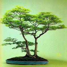 857 Likes, 6 Comments - kayseri #bonsai /TURKEY (@kayseribonsai) on Instagram #bonsaitrees