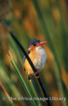 Malachite kingfisher, Alcedo cristata, Kafue National Park, Zambia