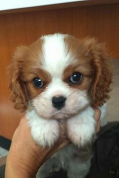 """Obtain fantastic tips on """"spaniel puppies"""". They are available for you on our internet site. Cavalier King Charles, King Charles Puppy, King Charles Spaniel, Puppies And Kitties, Baby Puppies, Cute Puppies, Cute Dogs, Cocker Spaniel Puppies, Yorkie Puppy"""