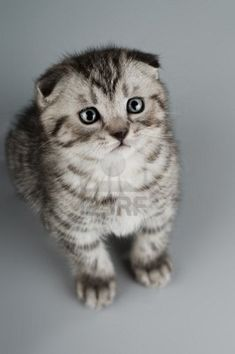 I'm totally a dog person, but if I were to ever have kittens, please let it be a beautiful Scottish Fold kitten