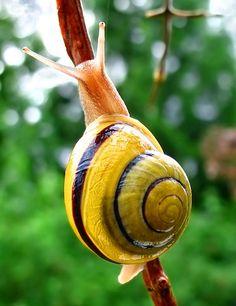 Νηπιαγωγός για πάντα....: Ένα Σαλιγκάρι στην Τάξη μας.... Sea Snail, Snail Shell, Giant Snail, Beautiful Creatures, Animals Beautiful, Beautiful Images, Animals And Pets, Cute Animals, Power Animal