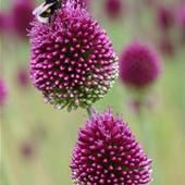 Said to go well with eryngium planum because of the similar-shaped flower heads. Seeds available from Chiltern Seeds. Dark Flowers, Beautiful Flowers, Planting Bulbs, Planting Flowers, Allium Sphaerocephalon, Sea Holly, Green Rooms, Garden Plants, Gardening Tips