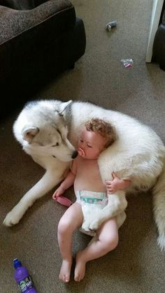 Siberian huskies and Alaskan malamutes make wonderful nannies because they're nurturing and gentle, but never forget their size or how playful they are. And, as with any dog, never leave your child alone and in a vulnerable position. - Ronni