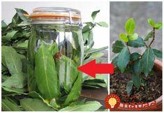 Bobkový list alebo vavrín patrí medzi tie druhy korenia, ktoré sa nachádzajú snáď v každej domácnosti. Je obľúbenou ingredienciou do mnohých jedál a nevieme si bez neho predstaviť prípravu napríklad obľúbenej domácej kvasenej kapusty. Mnohí z nás však netušia, na čo všetko sa bobkový list dá použiť a aké obrovské zdravotné benefity má pre naše... Bay Leaf Benefits, Bay Leaves, Parsley, Celery, Pickles, Cucumber, Korn, Herbs, Vegetables
