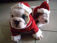 English Bulldog - Merry Xmas
