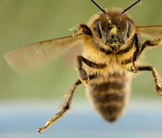 Great shot!   Flight of the honey bee by Robert Seber  Look at that grumpy little face!